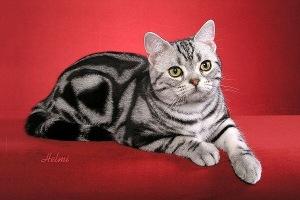 Silver tabby cat photo - WP31158